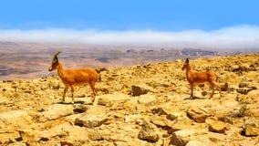 2 ibexes в пустыне Стоковая Фотография