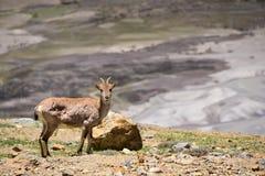 Ibexes на горах Гималаев Стоковое Изображение RF