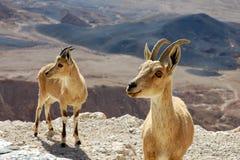 2 Ibexes на скале Стоковая Фотография