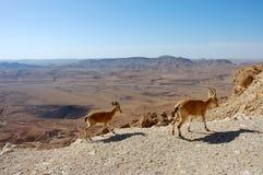 2 Ibexes на скале Стоковое Фото