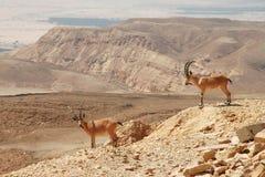 ibexes скалы Стоковое Изображение RF