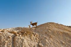 2 Ibexes Стоковое Изображение