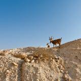 2 Ibexes Стоковые Изображения RF