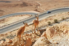 Ibexes on the cliff above the highway. Royalty Free Stock Photos