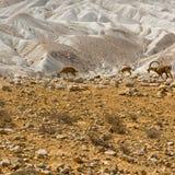 Ibexes in Desert Stock Photos