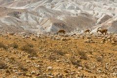 Ibexes in Desert Royalty Free Stock Photo