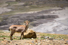Ibexes on the Himalaya Mountains. Wild Ibexes on the mountain at Spiti Valley, northern of India Royalty Free Stock Image