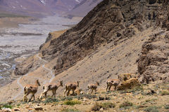 Ibexes on the Himalaya Mountains. Wild Ibexes on the mountain at Spiti Valley, northern of India Royalty Free Stock Photography