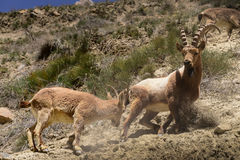 Ibexes on the  Himalayas Mountains. Wild Ibexes on the mountain at Spiti Valley, northern of India Stock Photos