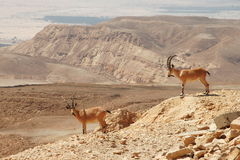 Free Ibexes On The Cliff. Royalty Free Stock Image - 13827866