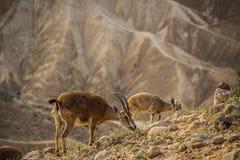 Ibexs in der Wüste Stockbild
