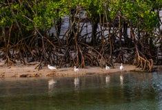 Ibins som reflekterar i en Florida lagun royaltyfria bilder
