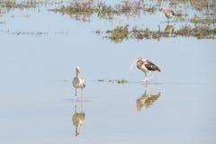 Ibisów odbicia Obraz Royalty Free