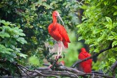 IBIS猩红色 免版税图库摄影