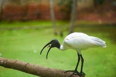 IBIS à tête noire/oiseau blanc australien d'IBIS mangeant des poissons photos stock