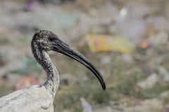 IBIS à tête noire ou melanocephalus blanc oriental de Threskiornis d'IBIS Images stock