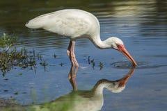 Ibis выпивает воду от пруда Стоковые Фотографии RF
