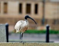 Ibis в городе, птица в предпосылке города нерезкости, австралийце Ibis, австралийце Ibis в городе Сиднея, Австралии, австралийско Стоковые Изображения RF