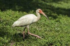 Ibis идет в траву Стоковое Фото