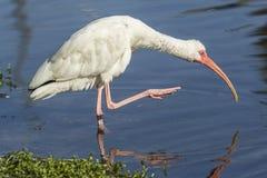 Ibis поднимает ногу из воды Стоковые Фотографии RF