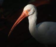 Ibis против темной предпосылки Стоковые Изображения