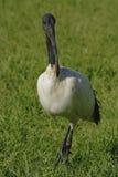 ibis священнейший стоковое изображение