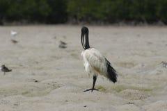 ibis священнейший стоковое фото rf