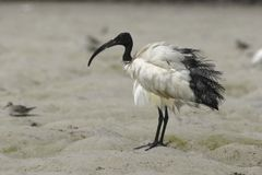 ibis священнейший стоковые изображения