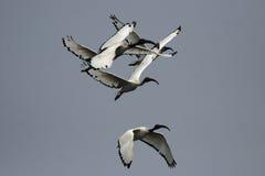 ibis священнейший стоковая фотография rf