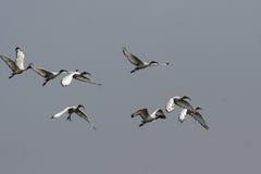 ibis священнейший стоковые фото
