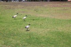 ibis Stock Afbeelding