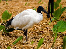Ibis Stock Photos