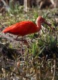 ibis Стоковое фото RF