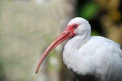 ibis Obraz Stock