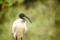 Ibis Royalty Free Stock Photography