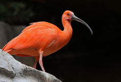 Ibis Royalty Free Stock Image