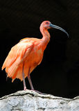 Ibis. Red Ibis Fluffing His Feathers Royalty Free Stock Images