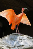 Ibis. Red Ibis Spreading His wings Royalty Free Stock Photos