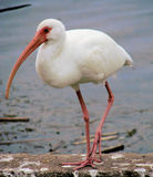 Ibis. This is a ibis,found in largo florida,they come in red ,mottled and white Royalty Free Stock Photography