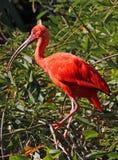 Ibis royalty-vrije stock foto's