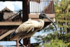 ibis Royalty-vrije Stock Afbeelding