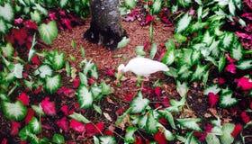 ibis Photographie stock libre de droits