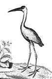 ibis ilustracja wektor