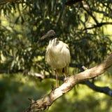 ibis Fotografie Stock