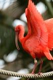 ibis Photographie stock