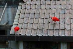 ibis Zdjęcia Royalty Free