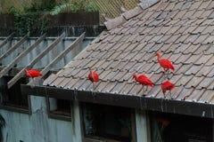 ibis Zdjęcie Royalty Free