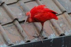 ibis Zdjęcia Stock