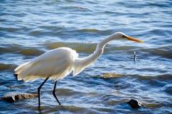 ibis photo stock