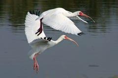 ibis obrazy royalty free
